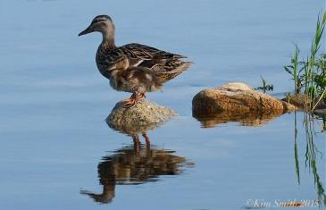 Niles Pond Duckling ©Kim Smith 2015