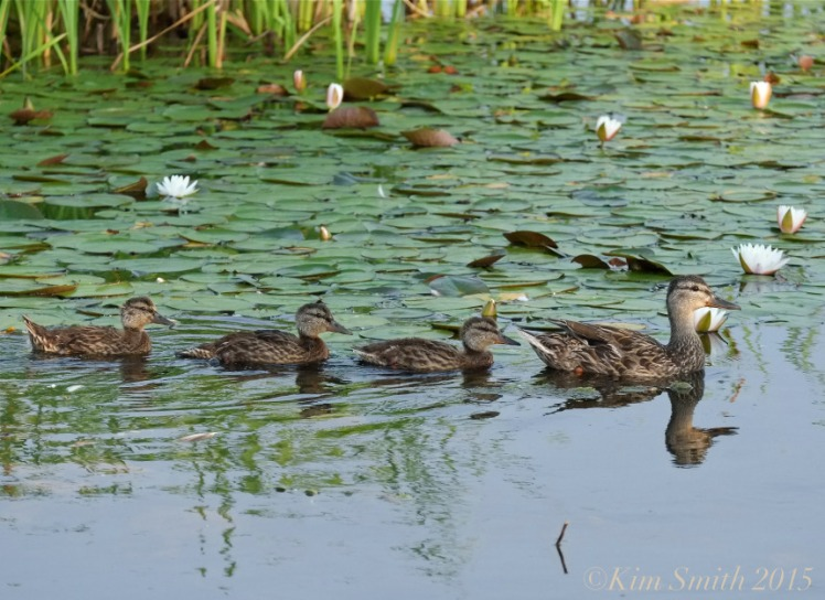 Niles Pond Ducklings -2 ©Kim Smith 2015
