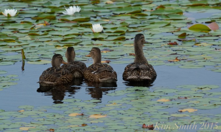Niles Pond Ducklings -3 ©Kim Smith 2015