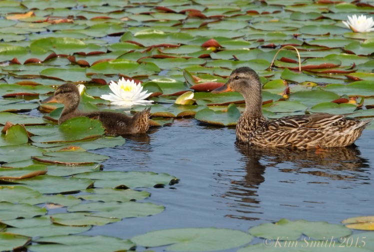 Niles Pond Ducklings -5 ©Kim Smith 2015